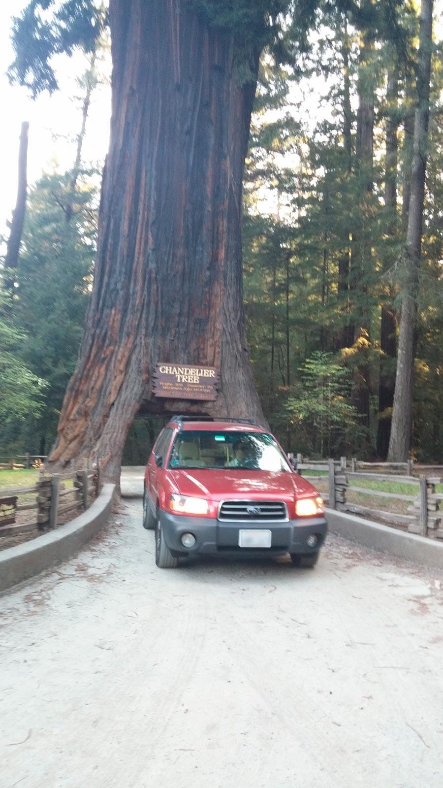 Drive thru redwood trees gaia bros chandelier drive thru tree leggett ca 3 arubaitofo Gallery